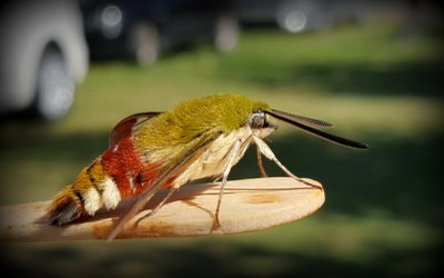 Hemaris generoko kolibri-sitsa